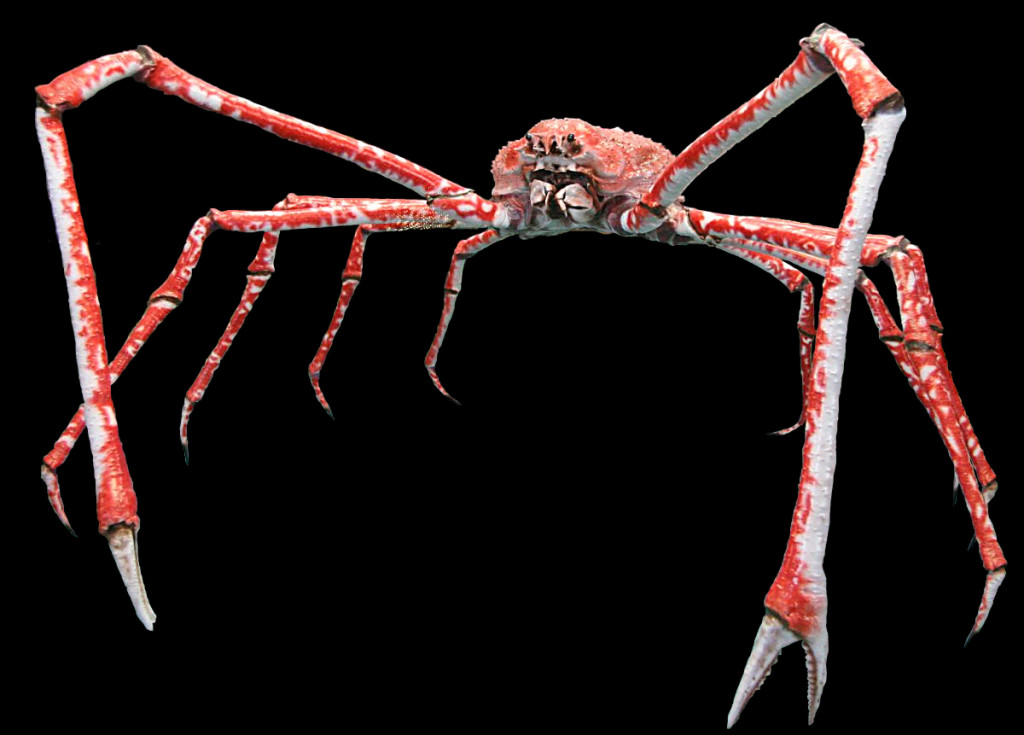 japanese-spider-crab2